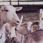 ovejas de colombres
